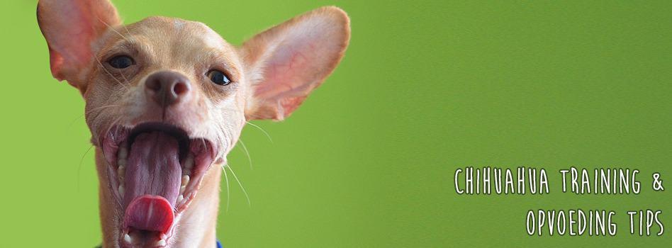 Chihuahua verzorging voor vacht, gebit, nagels en gezondheid